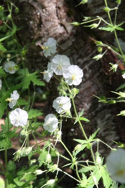 Geranium phaeum 'Album'_3392 | Flickr : partage de photos !