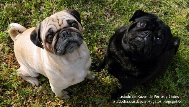Listado de Razas de Perros y Gatos. Todos los tipos...: Raza de Perro Carlino, Pug o Doguillo (Chinese pug...