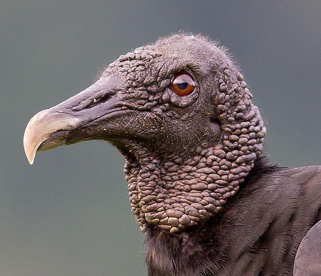 Foto urubu-de-cabeça-preta (Coragyps atratus) por Gabriel Mello | Wiki Aves - A Enciclopédia das Aves do Brasil