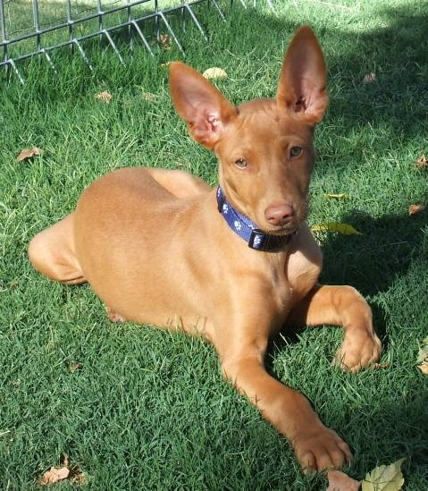 The Pharaoh Hound. I want this type of dog too. One of the oldest breeds in the world.