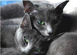 Aprender a cuidar animales y mascotas: Reproduccion de los  gatos: como cruzar gatos