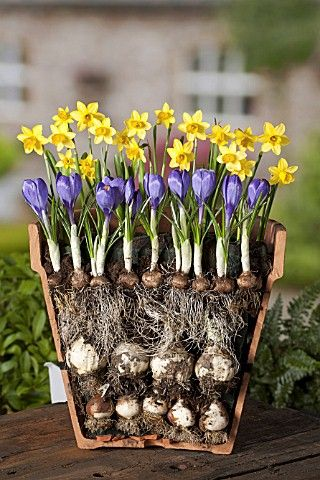 bulbs require different depth planting & can be planted close together (must be replanted in fall as bulbs will multiply)