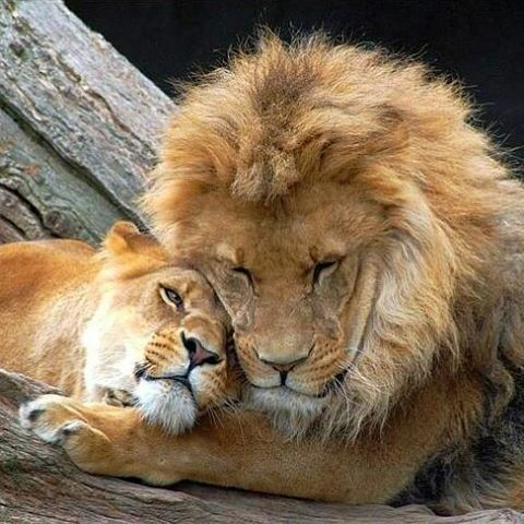😍 Lion Love 😍 Follow @about_animalslife for more amazing animals photos and videos @about_animalslife  #Wildgeography