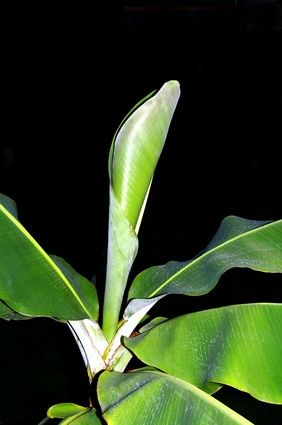 How to Take Care of a Banana Tree Plant
