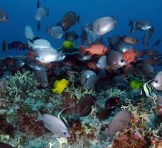 No-Take Marine Protected Areas: Having Your Fish and Eating Them Too.  Size matters Why do protected areas create more fish? The obvious answer is that, when protected from capture and imminent death, fish have more opportunities to reproduce. However, there could be a subtler but even more important reason: size matters.  Fish living in protected areas typically live longer and are consistently larger than fish in unprotected areas. Dr. Almany said that larger m         Smithsonian Ocean…