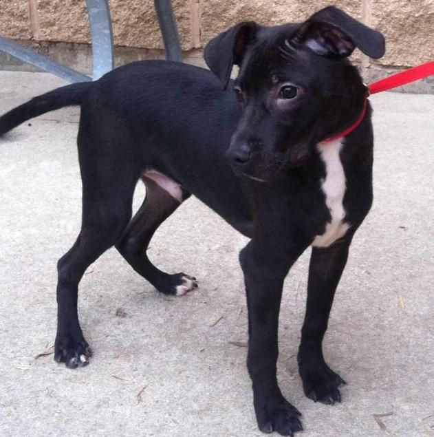 Or I Can Get A Lab And Jack Russell Mix Dog S Terrier Mix Jack