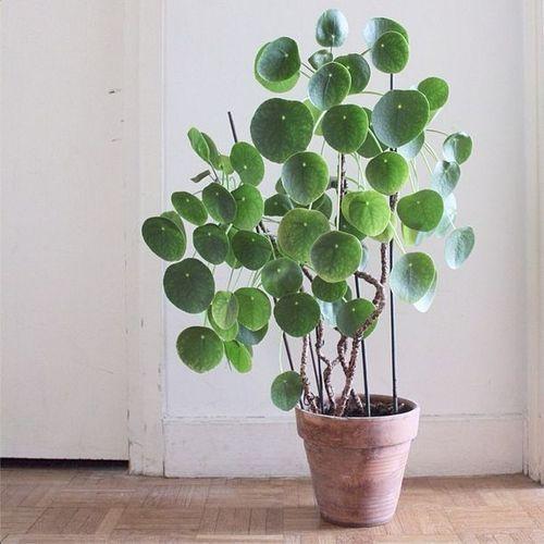 Pilea peperomioides (Elefantöra eller Parasollpilea) | Ljust och soligt - dock ej söder. Håll jorden lätt fuktig. Vattna i kanten av krukan, inte i växten, med ljummet vatten. Låt det inte stå kvar vatten i ytterkrukan. Vattna gärna med kalkfattigt vatten. Svag dos Kruväxtnäring i vattnet vår-höst, sedan 1 gång/månad. Planteras i låg, väldränerad kruka i Blomjord med lecakulor. Förökas med rotskott. Kan toppas vid behov.