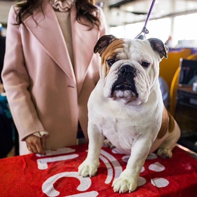 Demon English Bulldog 3 Y O 2018 Westminster Kennel Club Dog