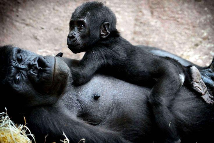 Un autre bébé se nomme Ajabu, il s'agit d'un gorille du zoo de Prague.