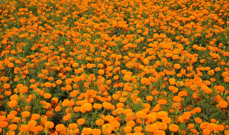 marigold.jpg (3696×2178)