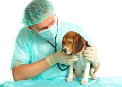 veterinario-visita-cucciolo-di-Beagle  Beagle to Green Hill