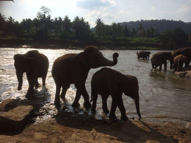 Elephants taking afternoon bath in Sri Lanka (Pinnawala)