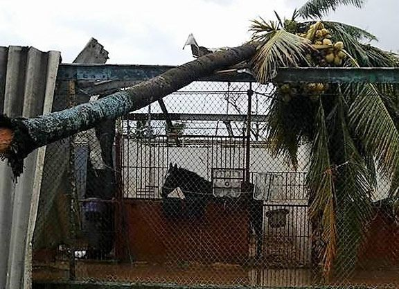 Hundreds of Caribbean Horses in Peril after Multiple Hurricanes