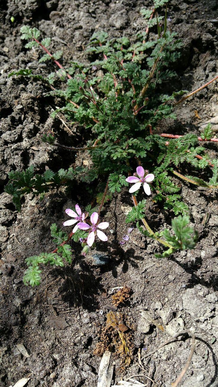 Common Garden Weeds Michigan