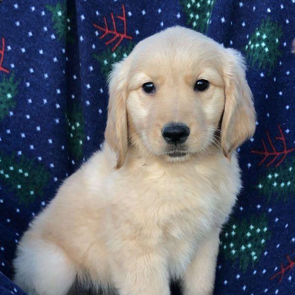 Suzie Golden Retriever Puppy For Sale In Ohio Cute Dogs Breeds