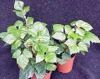 Cissus ciso roiciso vi a de apartamento parra de - Plantas ornamentales de interior ...