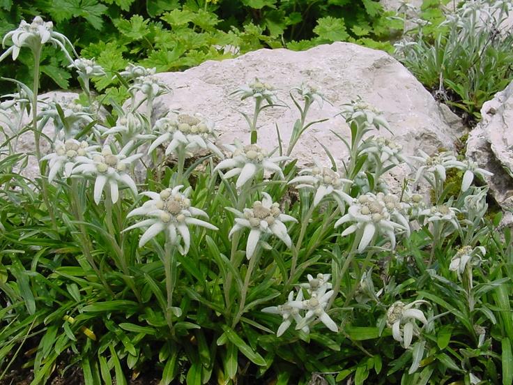 ...stelle alpine del giardino