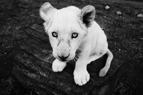 : Big Cat, White Tigers, Animal Pics, Funny Pics, White Lion, Funny Baby Animal, Baby Lion, Lion Cubs, Baby Cat
