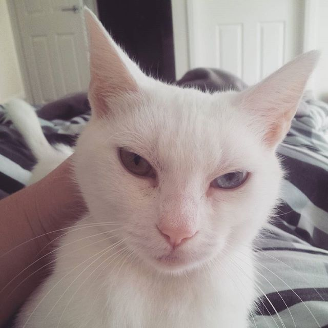 Just some more #kittyspam of gorgeous little Ziggy  #catstagram #catsofinstagram #catsofmelbourne #ziggystardust #whitecat #bowieeyes #rescuecat #adoptdontshop #catprotectionsociety