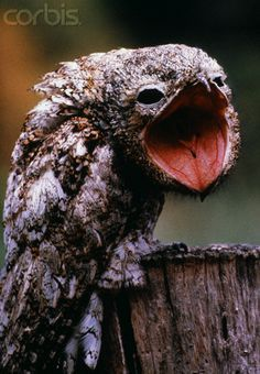 Potoo Is Laughing At You ~