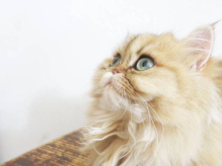 Persian cat rescue orange county