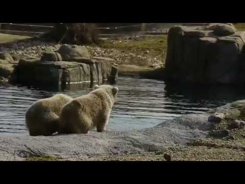 Zwemles voor de ijsbeertweeling in Blijdorp 13 maart 2015 - YouTube