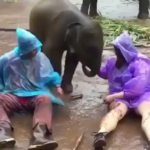 Baby elephant sits down on wife. Funny.