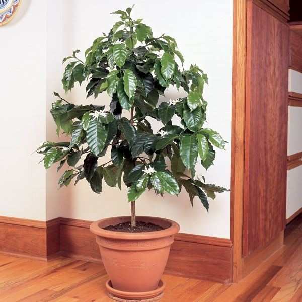 Coffee (Coffea arabica) Grow your own coffee beans right at home!