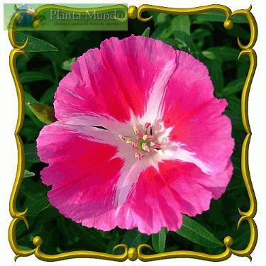Flor-de-cetim – Clarquia - Godetia - Clarkia amoena - Planta Mundo