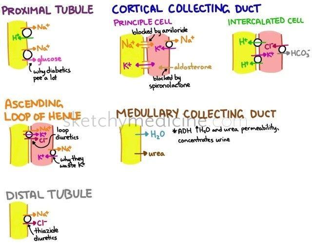 Where diuretics work in the nephron