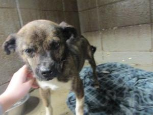 Brenda Vance is an adoptable Chihuahua Dog in Feasterville, PA.  3/13/13 Hi my name is Brenda. I am an altered chi mix female. I am about 15-20 lbs and 1 yr old. I was picked up as a stray on 3/7 and ...