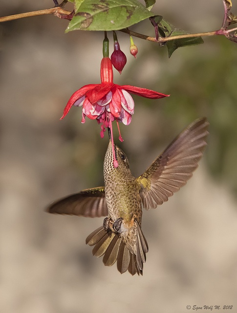 Hummingbird. Concepcion, Chile