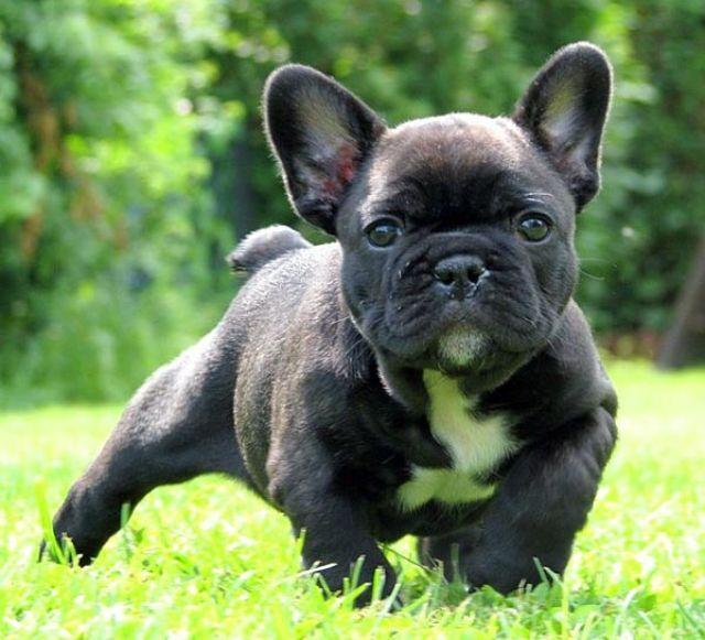 French Bulldog.  Gorgeous Frenchie!!!!