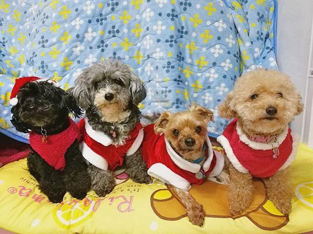 今年のクリスマスは、この1枚だけ♪(笑) 昔100均で買った安物のサンタ服を着た年長組と、 ただの赤い服を着た子供達。 . でも私には君達の笑顔が何よりも素敵なクリスマスプレゼント 今年も見れて良かった❤ありがとう✨ . . . #クリスマス#クリスマスプレゼント #クリスマスイブ #愛犬 #ミックス犬 #トイプードル #ヨークシャーテリア#ヨーキー#多頭飼い #アイちゃん #アーロン #こりん#ユウちゃん #サンタクロース#サンタ犬 #ダイソー #ごちそうを前にすると一発OK#記念写真#dogs#toypoodle#yorkshireterrier#dogstagram #贅沢マスク#パケわんグランプリ