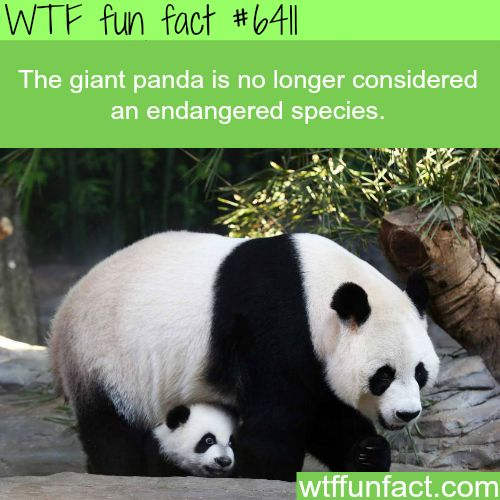 Pandas are no longer endangered - WTF fun facts  | Visit http://gwyl.io/  for more diy/kids/pets videos