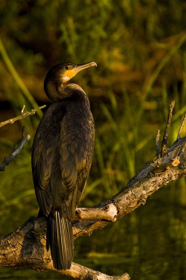 Cormorant by Daniel Calin on 500px Danube Delta Romania www.romaniasfriends.com