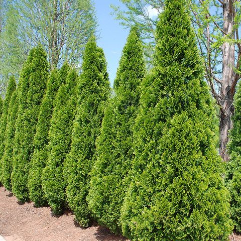 Emerald Arborvitae (Thuja occidentalis 'Emerald Green') for property line