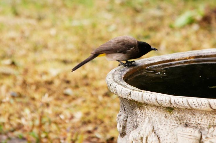 COMMON BULBUL DRINKING WATER - See more at http://www.markmetcalfe.co.za/