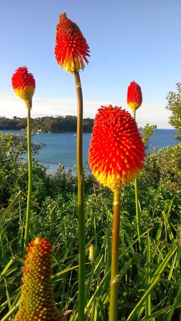 Knoffler flowers (aka Red Hot Poker), Waiheke Island