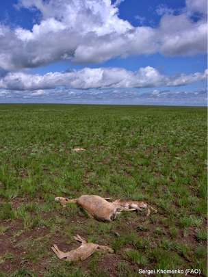 120,000 yes 120k DEAD since Early May  2015 that is 50% of the extremely endangered species - dead antelope and calf - NOT A PRETTY PIN but we HUMANS must WAKE UP