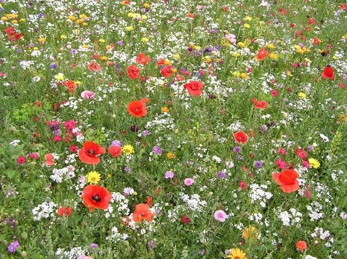 Nigel Dunnett short mix meadow