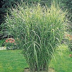 Zebra Grass/ mine is 6 feet tall