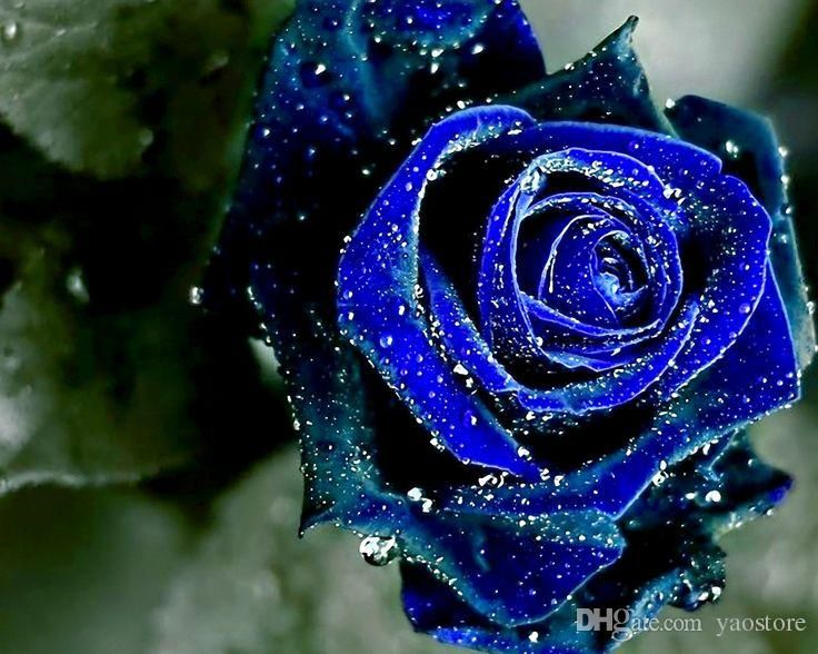 Midnight Rose Blue Color Flower Seeds Free Shipping Beautiful Hot Selling Wedding Flowers Seeds 100 P Blue Roses Wallpaper Rose Wallpaper Blue Flower Wallpaper