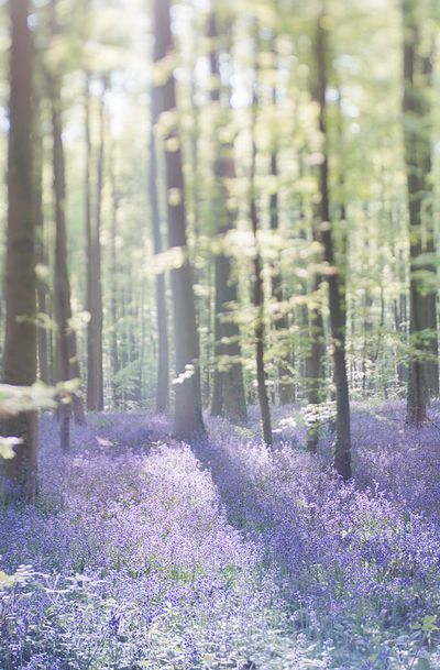 Nature Photography - Bluebell Wood Landscape Photograph. Interesting choice to have 2/3 of the picture out of focus...