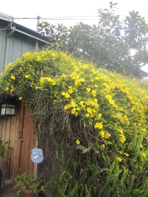 Gelsemium sempervirens carolina jasmine is an evergreen for Evergreen climbing plants for privacy
