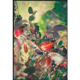 3.58-Gallon White Chokeberry Foundation/Hedge Shrub (L10461) Nursery