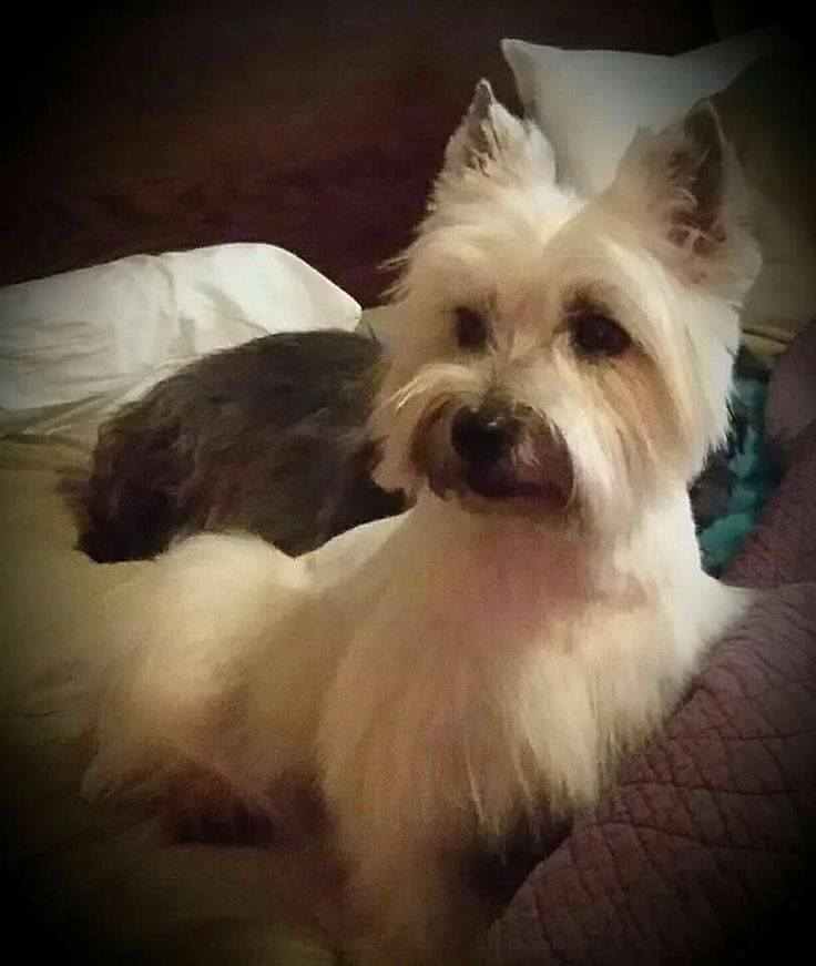 "I received another email from a loyal cairn terrier servant. The description accompanying this photo is: ""The Duchess of Livingston Parrish."" Appropriate."
