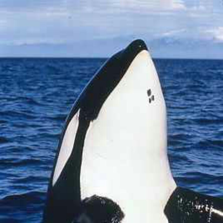Keiko the killer whale from Free Willy | Keiko the whale ️ ...