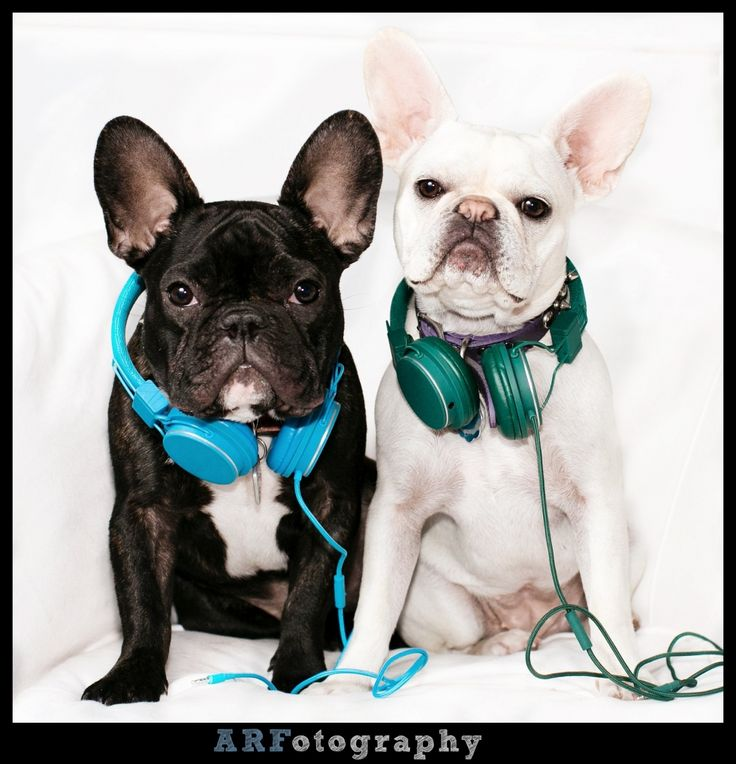 French Bulldogs aka Frenchies
