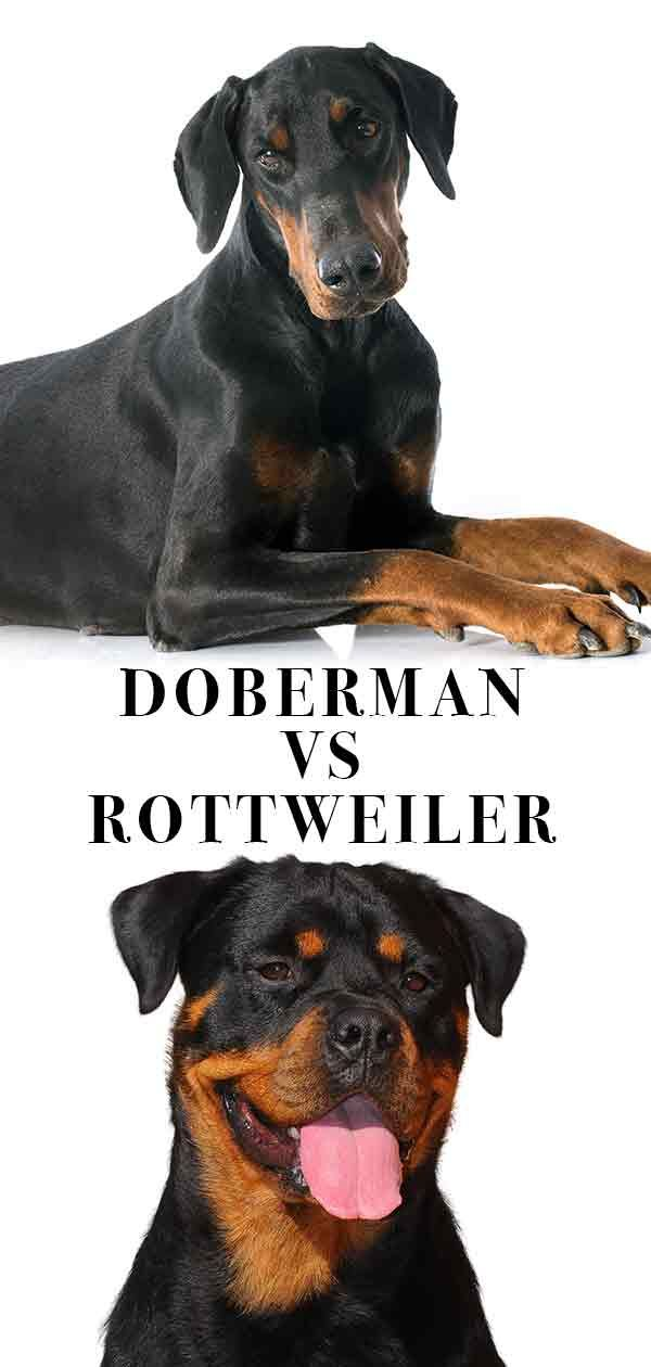 Doberman Vs Rottweiler Similar Looks But Different Personalities
